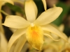 dendrobium-yellow-chinsai-little-joe