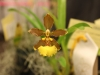 oncidium-species
