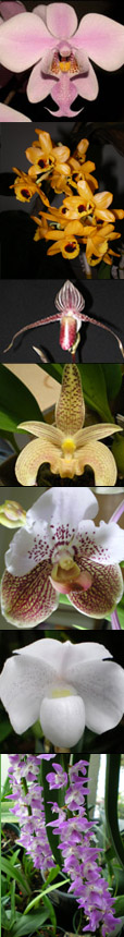 orchids of Southeast Asia