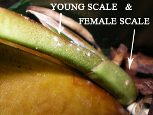 Young Scale and Female Scale