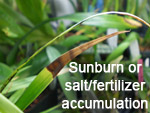 Sunburn or salt/fertilizer accumulation