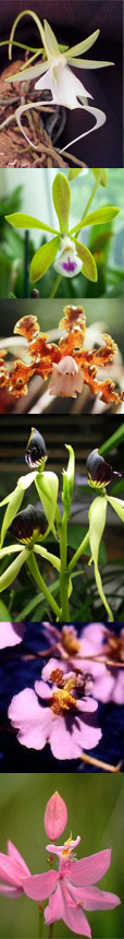 orchids of the Carribean