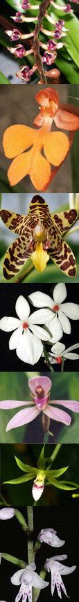 Central African orchids