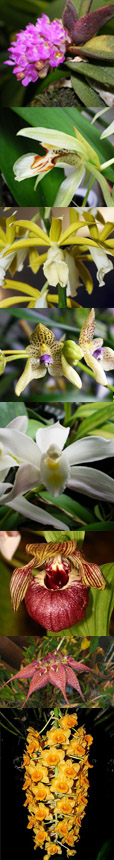 Indian orchids
